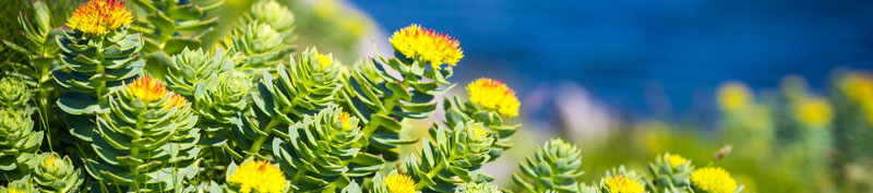 Rhodiola rosea: A Gift from the Heavens, for the Heavens?